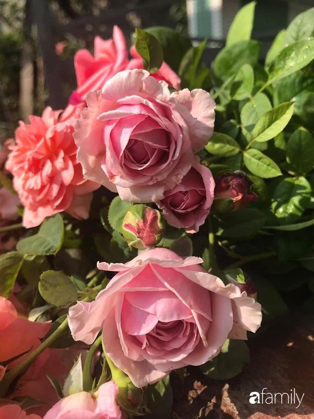 Khu vườn hoa hồng với đủ loại từ nội đến ngoại rộng 100m² ở Quảng Ninh - Ảnh 20.