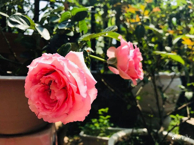 Khu vườn hoa hồng với đủ loại từ nội đến ngoại rộng 100m² ở Quảng Ninh - Ảnh 22.