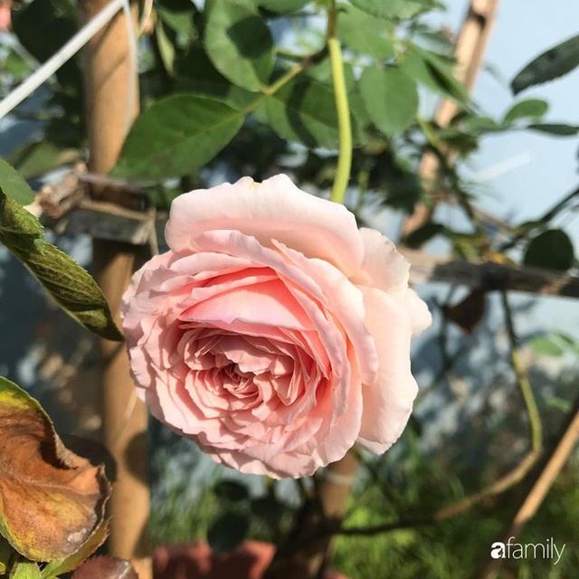 Khu vườn hoa hồng với đủ loại từ nội đến ngoại rộng 100m² ở Quảng Ninh - Ảnh 25.