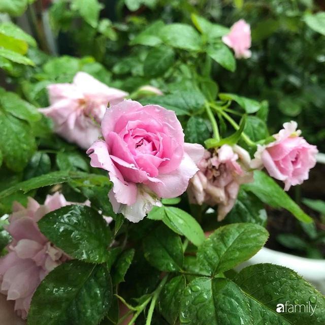 Khu vườn hoa hồng với đủ loại từ nội đến ngoại rộng 100m² ở Quảng Ninh - Ảnh 26.