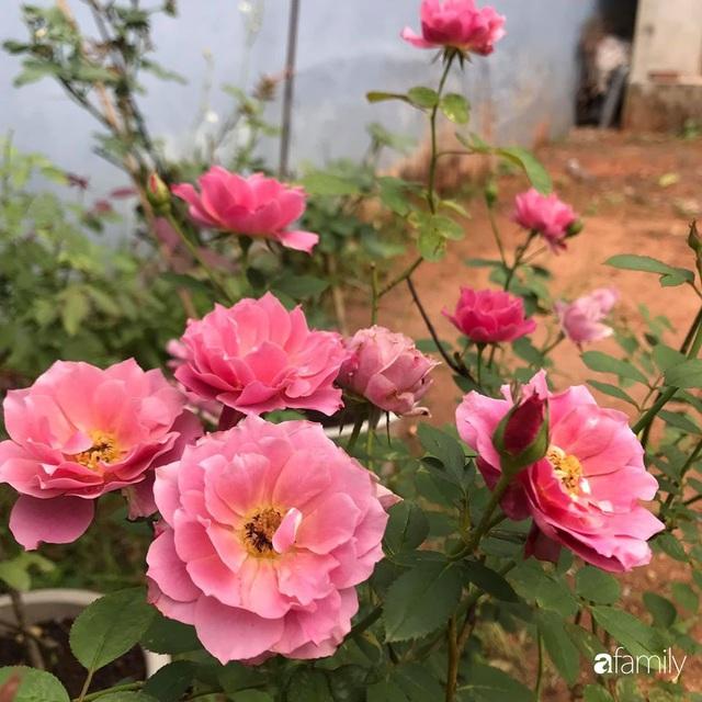 Khu vườn hoa hồng với đủ loại từ nội đến ngoại rộng 100m² ở Quảng Ninh - Ảnh 28.
