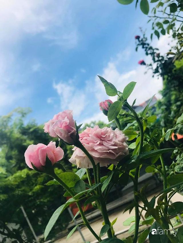 Khu vườn hoa hồng với đủ loại từ nội đến ngoại rộng 100m² ở Quảng Ninh - Ảnh 30.