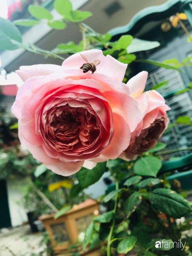 Khu vườn hoa hồng với đủ loại từ nội đến ngoại rộng 100m² ở Quảng Ninh - Ảnh 33.