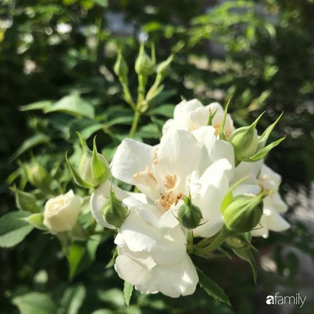 Khu vườn hoa hồng với đủ loại từ nội đến ngoại rộng 100m² ở Quảng Ninh - Ảnh 34.