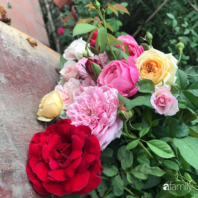 Khu vườn hoa hồng với đủ loại từ nội đến ngoại rộng 100m² ở Quảng Ninh - Ảnh 6.