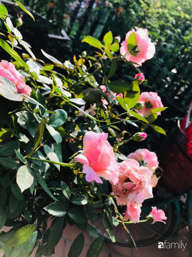 Khu vườn hoa hồng với đủ loại từ nội đến ngoại rộng 100m² ở Quảng Ninh - Ảnh 7.