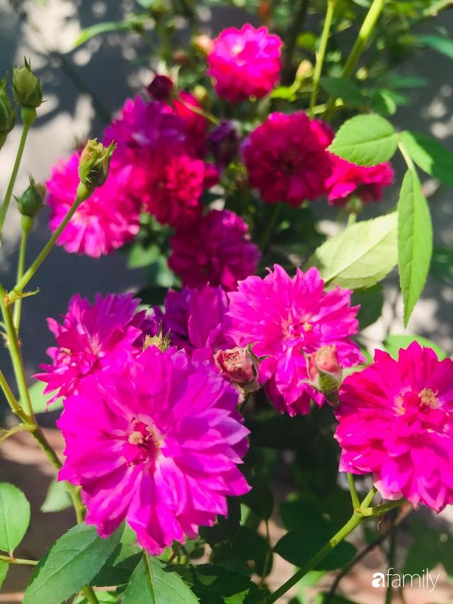 Khu vườn hoa hồng với đủ loại từ nội đến ngoại rộng 100m² ở Quảng Ninh - Ảnh 10.