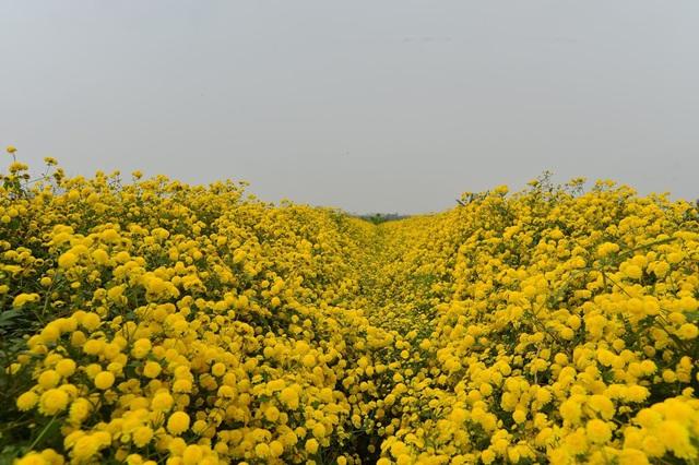 Ngây ngất cánh đồng hoa Cúc tiến vua vàng rực ở ngay gần Thủ đô - Ảnh 6.