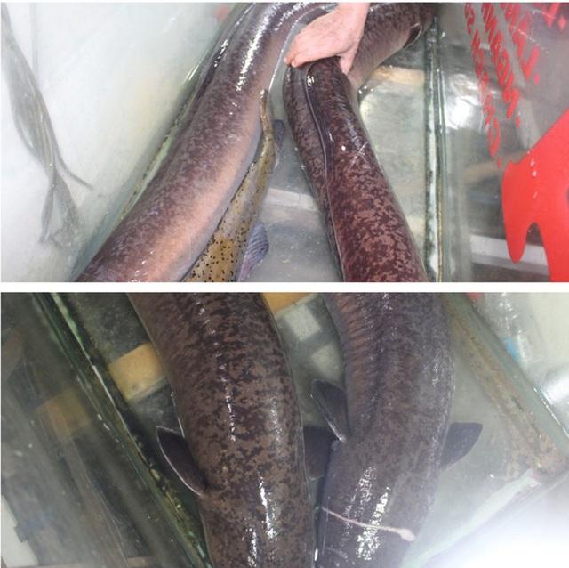 Bắt được cặp đôi cá lệch dài gần 2m trên sông Lam - Ảnh 2.