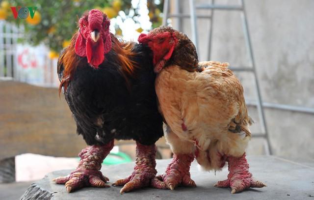 Ông Lê Quang Thắng - Giám đốc HTX Chăn nuôi và Kinh doanh gà Đông Tảo - cho hay, thông tin một con gà Đông Tảo thuần chủng, chân to, xù xì, da đỏ au có mức giá lên đến 50 – 70 triệu đồng là chưa đúng.