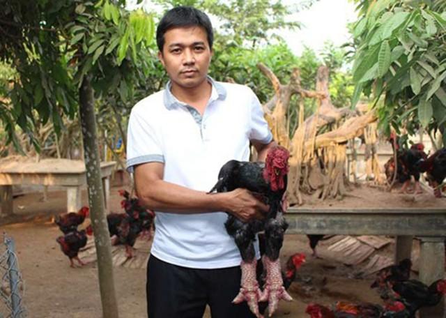 Trên thực tế, giá một con gà mã đẹp, ngoại hình ấn tượng cũng chỉ khoảng 10 – 15 triệu đồng, ông Thắng thông tin. (Ảnh: KT)