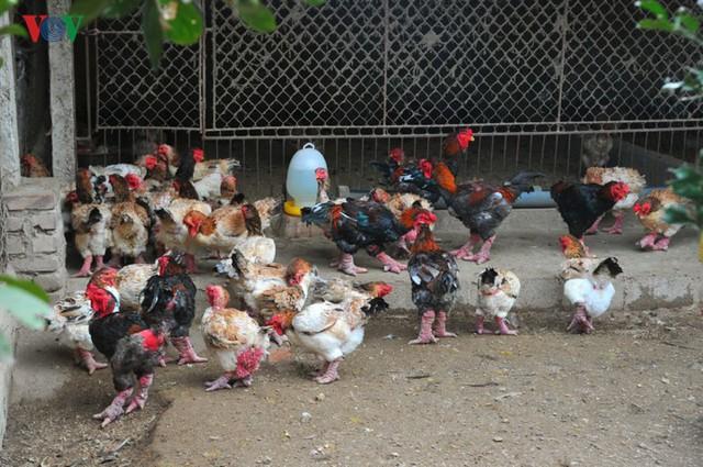 Đối với HTX nói riêng và các trại gà trong vùng Đông Tảo nói chung vẫn luôn giữ mức giá bán ổn định để mọi người đều có thể sử dụng sản phẩm, anh Lê Quang Thắng - một trong những trại gà có uy tín của xã Đông Tảo - chia sẻ.