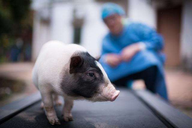 Chạy đua nhân giống siêu lợn vì giá thịt lợn tăng vọt - Ảnh 2.
