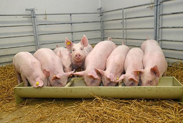 Chạy đua nhân giống siêu lợn vì giá thịt lợn tăng vọt - Ảnh 5.