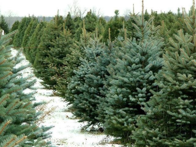 Thông tươi chơi Noel, 30 triệu/cây trưng mấy hôm rồi làm củi - Ảnh 1.