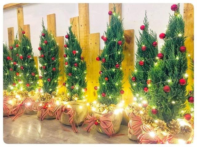 Thông tươi chơi Noel, 30 triệu/cây trưng mấy hôm rồi làm củi - Ảnh 3.