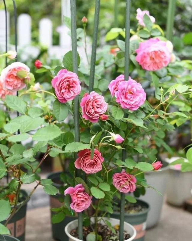 Biến sân thượng trống thành khu vườn đủ loại cây hoa đẹp như công viên, gia đình trẻ khiến nhiều người ghen tị - Ảnh 12.