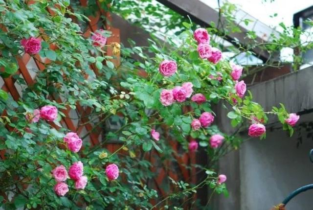 Biến sân thượng trống thành khu vườn đủ loại cây hoa đẹp như công viên, gia đình trẻ khiến nhiều người ghen tị - Ảnh 14.