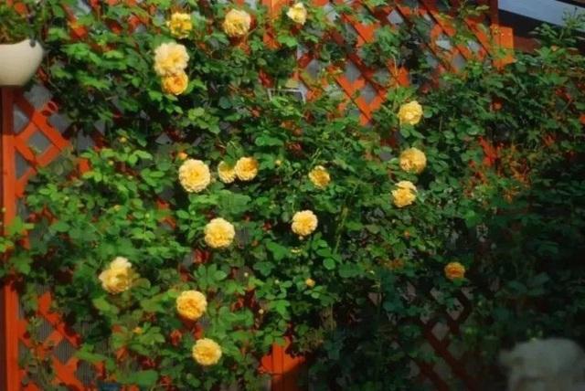 Biến sân thượng trống thành khu vườn đủ loại cây hoa đẹp như công viên, gia đình trẻ khiến nhiều người ghen tị - Ảnh 16.