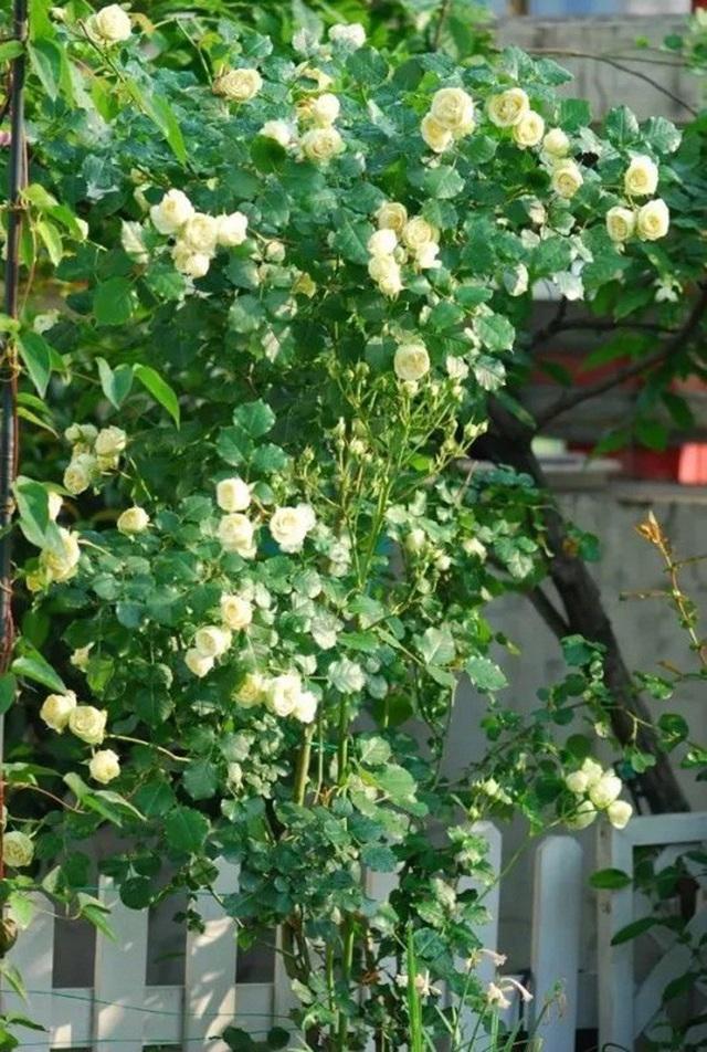 Biến sân thượng trống thành khu vườn đủ loại cây hoa đẹp như công viên, gia đình trẻ khiến nhiều người ghen tị - Ảnh 17.