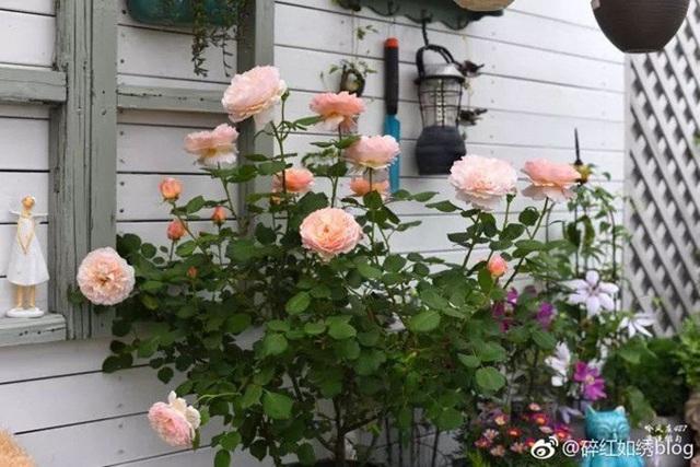 Biến sân thượng trống thành khu vườn đủ loại cây hoa đẹp như công viên, gia đình trẻ khiến nhiều người ghen tị - Ảnh 18.