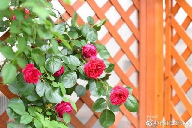 Biến sân thượng trống thành khu vườn đủ loại cây hoa đẹp như công viên, gia đình trẻ khiến nhiều người ghen tị - Ảnh 19.