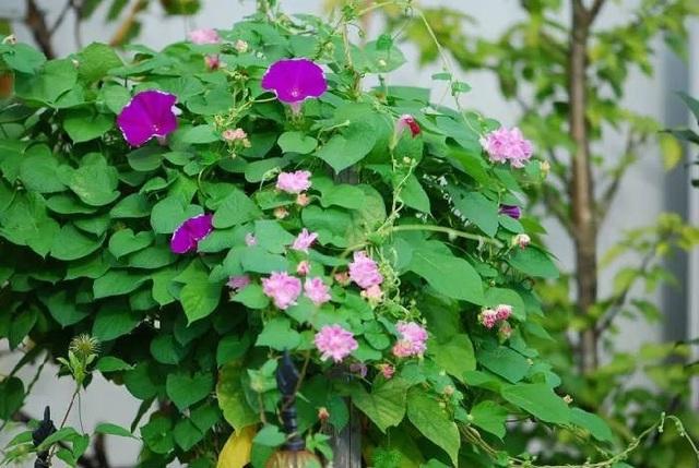 Biến sân thượng trống thành khu vườn đủ loại cây hoa đẹp như công viên, gia đình trẻ khiến nhiều người ghen tị - Ảnh 23.