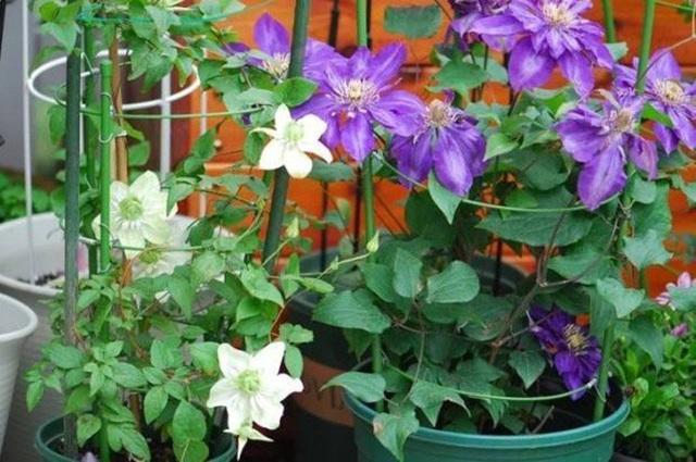 Biến sân thượng trống thành khu vườn đủ loại cây hoa đẹp như công viên, gia đình trẻ khiến nhiều người ghen tị - Ảnh 11.
