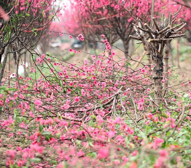 Nhiều chủ vườn cũng đã nhuốt những giọt nước mắt vào trong để tự tay phá bỏ hàng chục cành đào nở bung.