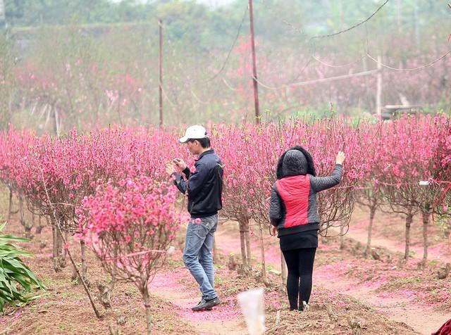 Trong khi đó, nhiều chủ ruộng đào đã phải vặt bớt những bông hoa đã héo, úa trước khi cắt bán cho người dân.