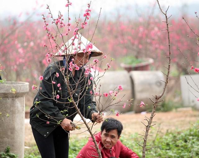 Một số nông dân lại tận dụng để gom đào bó, bán cho những người có nhu cầu cắm lọ thắp hương với giá rẻ.
