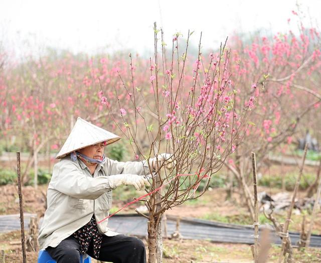 Người nông dân này cho biết, nếu không gặp nắng chắc chắn gia đình đã có thêm khoảng 15 triệu đồng để ăn Tết.