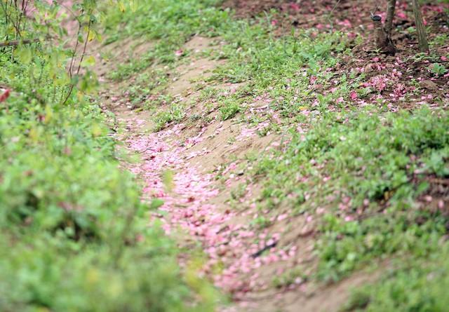 Một ruộng đào sau khi chặt bỏ bị nhuộm đỏ thắm bởi xác hoa.