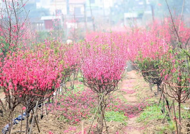 Những cành đào nở bung, đẹp mê hồn nhưng lại không có người mua bởi hoa đã nở hết.