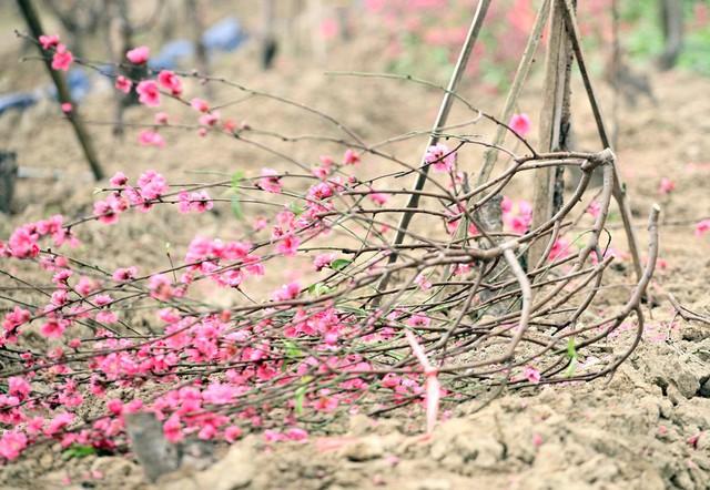 Một nhánh đào nở đỏ rực nằm chỏng chơ dưới ruộng khiến nông dân như bị xát muối vào lòng.