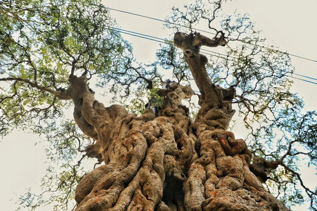 Hội chợ hoa xuân ở quận 7, TP HCM năm nay thu hút hàng trăm cây kiểng, bonsai các loại từ khắp mọi miền đất nước. Trong đó, đặc biệt có cây me núi của anh Trần Thanh Phong (ở Cai Lậy - Tiền Giang) được rao bán với giá 2 tỷ đồng.