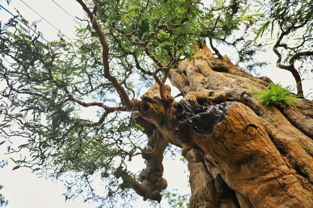 Thân cây me cao hơn 8 m, khoảng 3 người ôm, cành lá xanh tươi quanh năm, mỗi khi chăm sóc phải bắc thang.