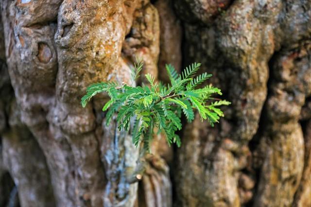 Một chồi non từ thân cây u nần mọc ra tạo điểm nhấn tươi mát.