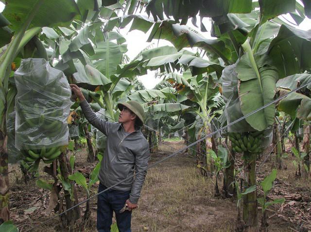Nhờ trồng chuối, anh Nguyễn Huy Tuân thu về mỗi năm 10 tỉ đồng.