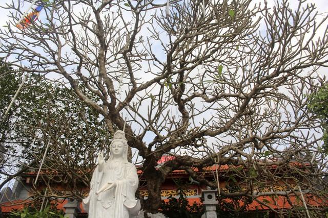 Cây Đại cổ thụ hơn 500 tuổi với dáng thác đổ hình rồng ...là điểm nhấn của chùa. Ảnh: Đ.Tùy