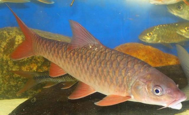 Cá Empurau thường sống ở các dòng suối có đáy đá, nước trong, chảy mạnh và ăn các bộ phận cây như lá, trái và hoa.