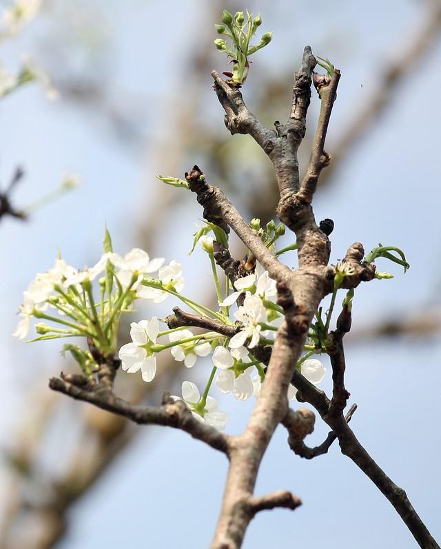 Lê trắng còn có tên gọi là lê mắc cọp thường được người dân trồng nhiều ở các tỉnh vùng núi phía Bắc. Lê thường ra hoa vào dịp Rằm tháng Giêng hàng năm.
