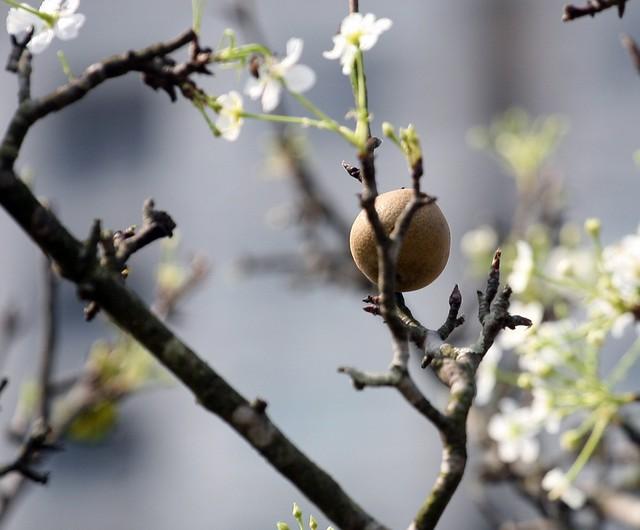 Lê mắc cọp cho trái vào tháng 5 tháng 6, quả có nhiều nước, vị thơm, ngọt dịu.