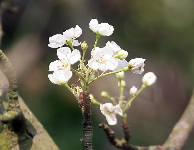 Rất nhiều người chơi tại Hà Nội mê mẩn với vẻ đẹp thanh khiết của loài hoa này nên năm nào cũng mua bằng được.