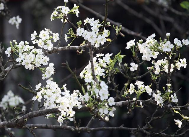 Thời tiết nắng nóng nên lê trắng cũng đã bung nở hoa gần hết.
