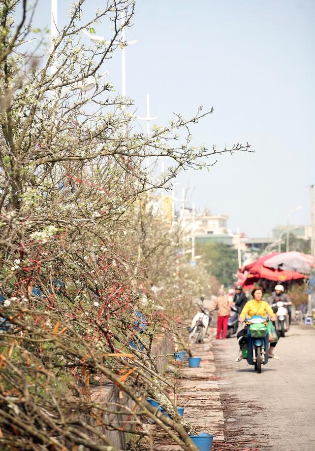 Cảnh tượng hàng nghìn cành lê trắng nở trắng muốt trước cổng chợ hoa Quảng An khiến không ít người ngạc nhiên bởi chưa bao giờ dịp Rằm tháng Giêng lại xuất hiện nhiều như năm nay.