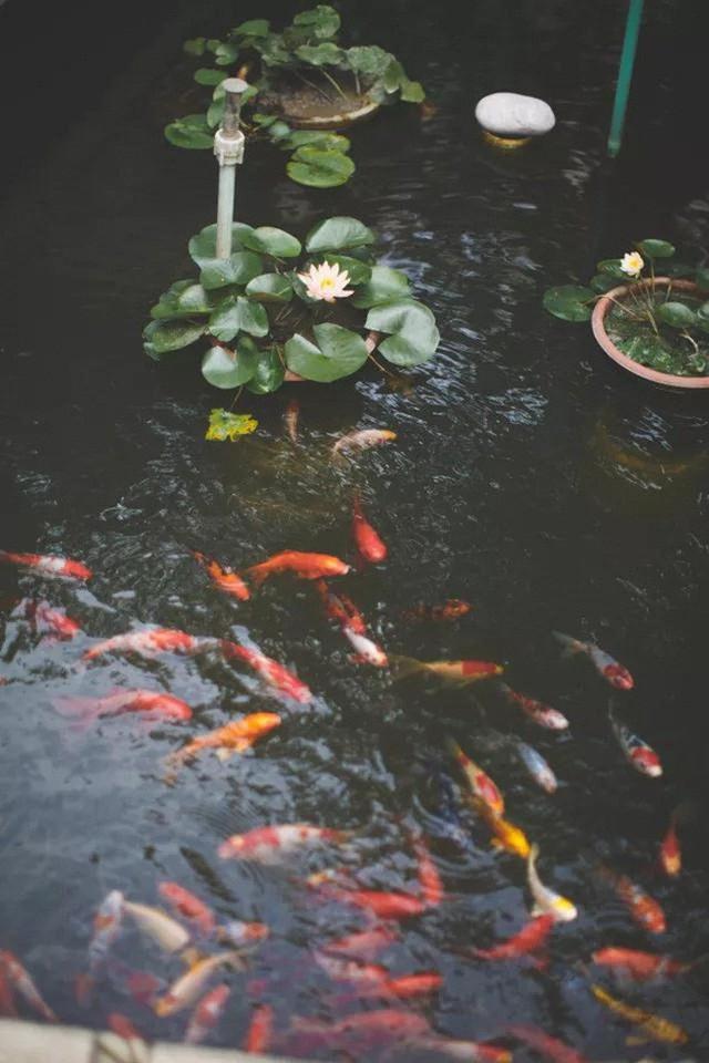 Đàn cá Koi bơi lội cho không gian thêm tĩnh lặng, bình yên.