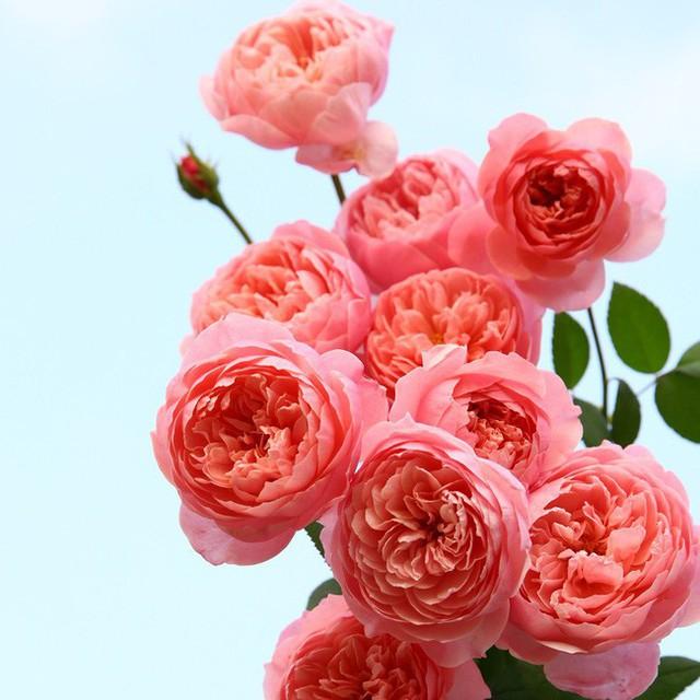 Hoa hồng trong vườn nhà.