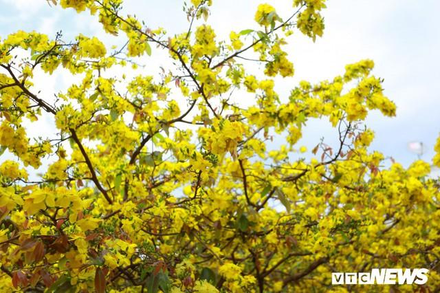 Như thành thông lệ, hơn 11 năm nay, cứ dịp Tết đến xuân về, hoa mai nở vàng rực người dân trong và ngoài tỉnh Đồng Nai lại rủ nhau tìm đến nhà ông Thạnh để chụp ảnh cùng cây mai giá khủng này.