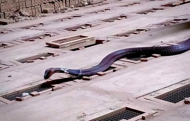 Nhờ thuần hóa được con rắn độc để nuôi bán thịt mà có gia đình đổi đời, có cuộc sống sung túc hơn